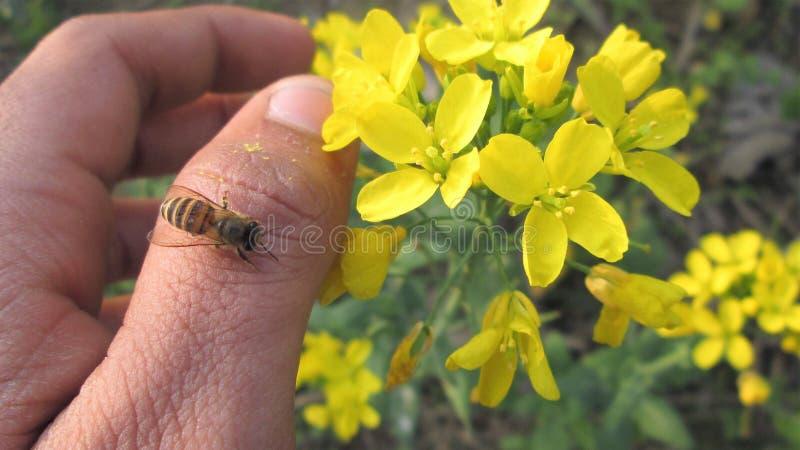 Macro aculeo del miele, della fotografia, sedentesi a disposizione, sul pollice, sui fiori, sul giardino, sull'estate o sulla pri fotografie stock libere da diritti
