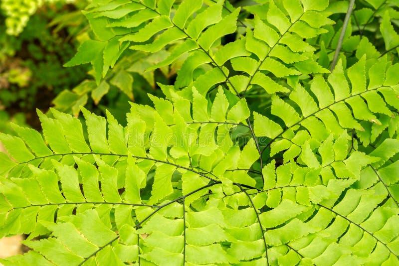 Macro of adiantum fern in top view stock photo