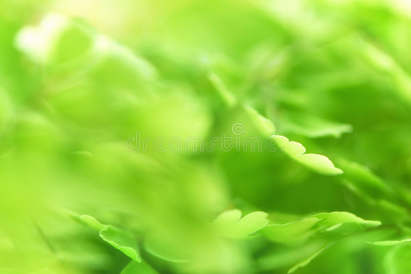 Macro of adiantum. Green delicate abstrsct blurred background royalty free stock images