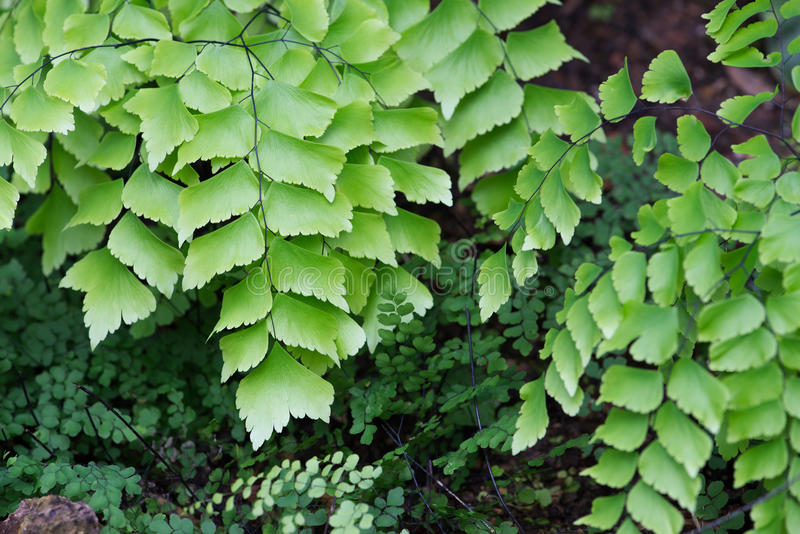 Macro of adiantum philippense or maidenhair fern growing in flow royalty free stock images