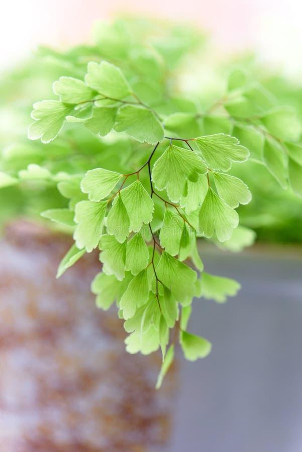 Macro of adiantum philippense or maidenhair fern growing in a stock image