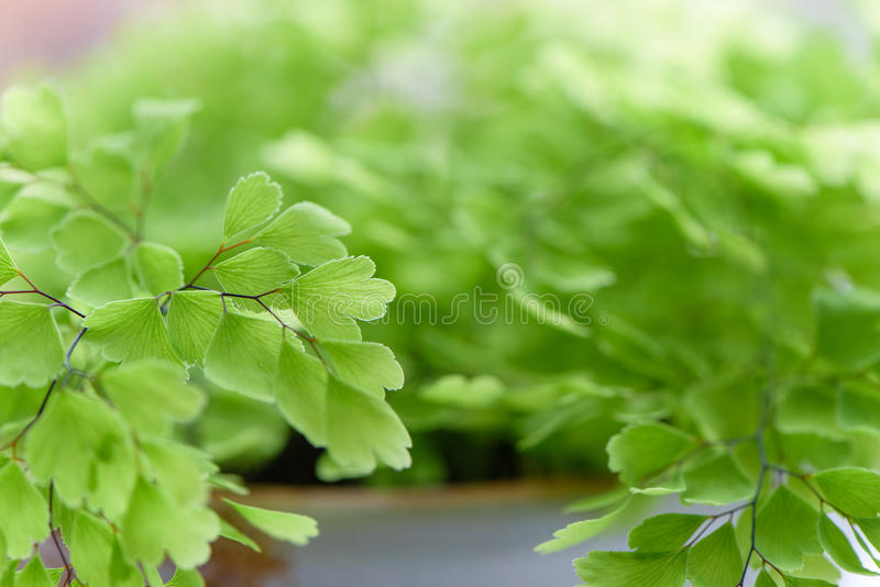 Macro of adiantum philippense or maidenhair fern growing in a royalty free stock photos