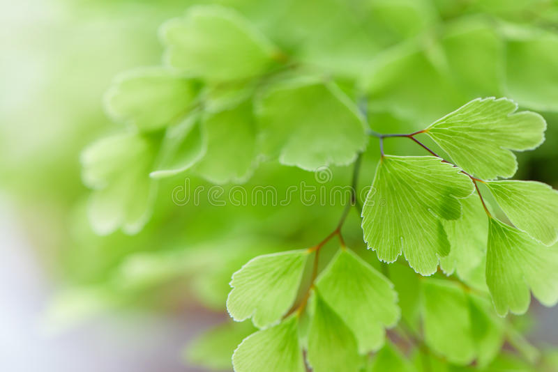Macro of adiantum philippense or maidenhair fern growing in a royalty free stock photography