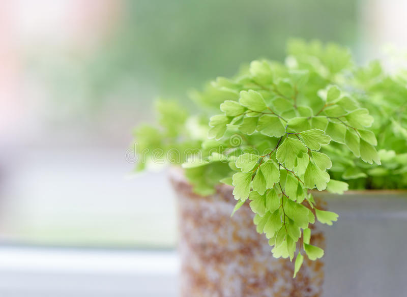 Macro of adiantum philippense or maidenhair fern growing in a royalty free stock image