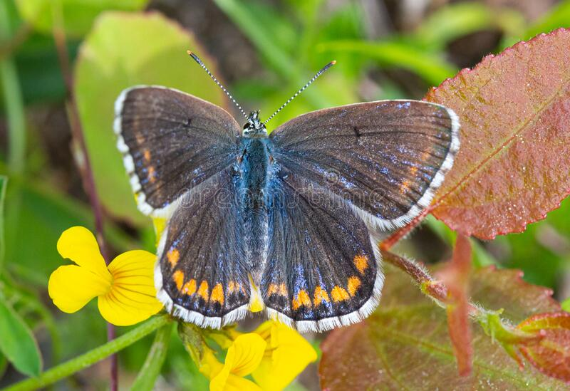 Macro of a adonis blue polyommatus bellargus butterfly on a lotus corniculatus blossom. Pesticide free environmental protection concept stock photography