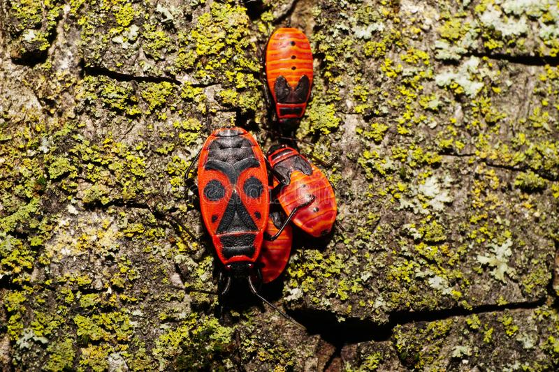 Macro of adult and young bedbugs soldier Pyrrhocoris on the bark stock image