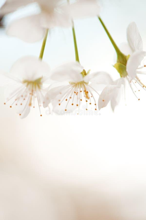 Macro aigre de fleurs de cerisier images stock