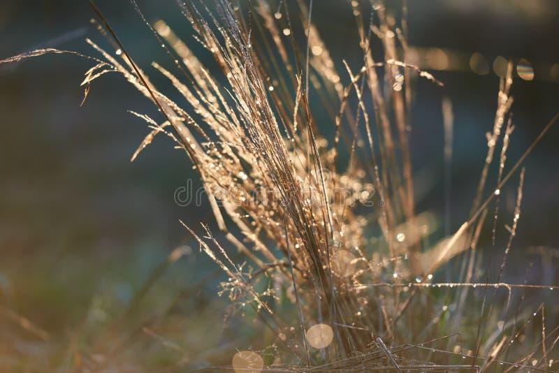 Macro alto retroiluminado da grama no nascer do sol foto de stock