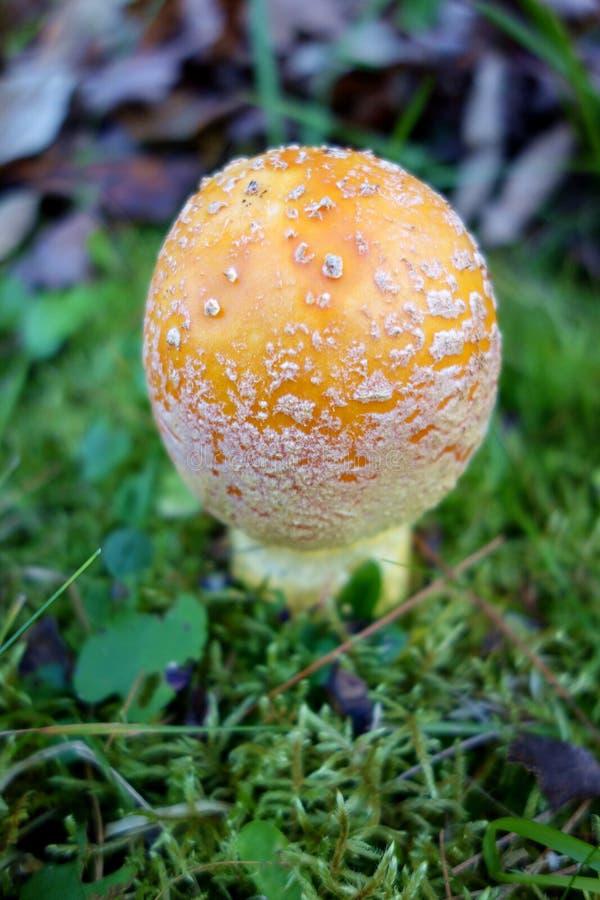 Macro of a Amanita Muscaria Mushroom stock image