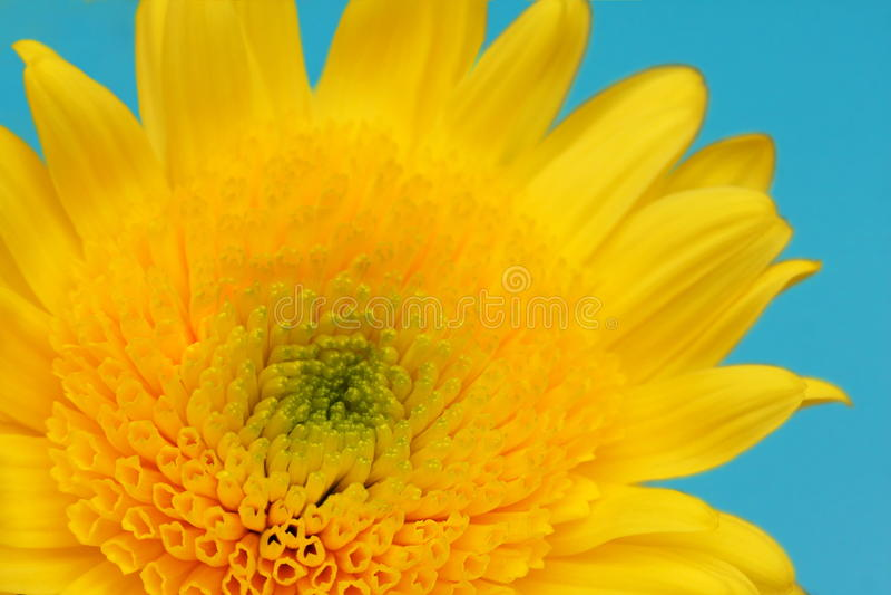 Macro amarelo da margarida fotografia de stock royalty free
