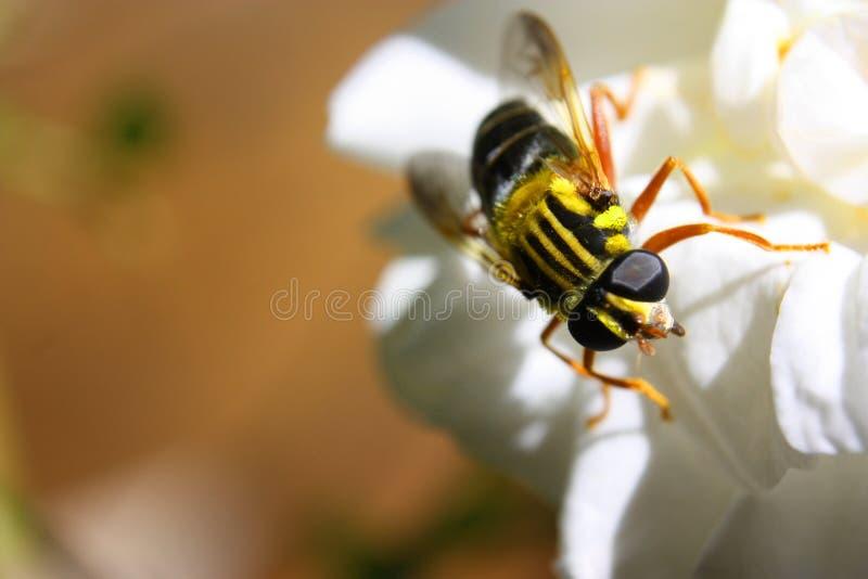 Macro amarelo da mosca fotos de stock