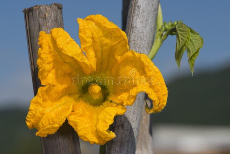 Macro amarilla del calabacín del pistilo de la flor del calabacín foto de archivo