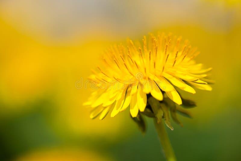 Macro amarilla del officinale del Taraxacum de la flor del diente de león foto de archivo