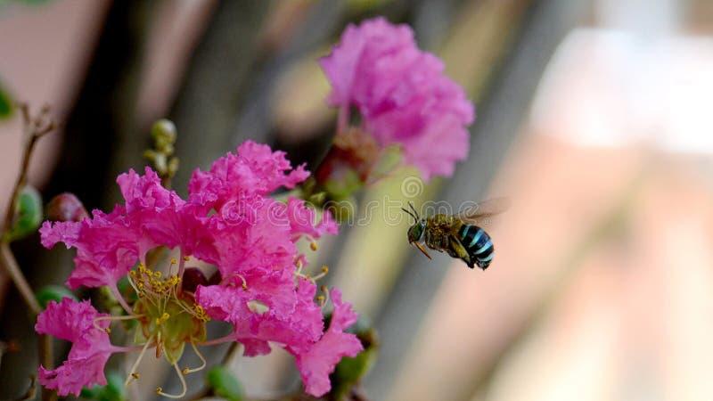Macro of Amegilla cingulata or blue-banded bee stock photo