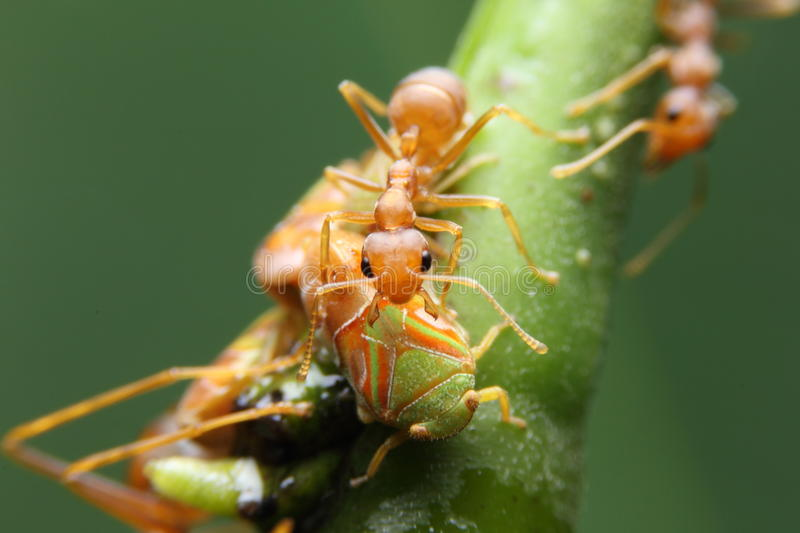 Macro ant and aphid. On tree stock images