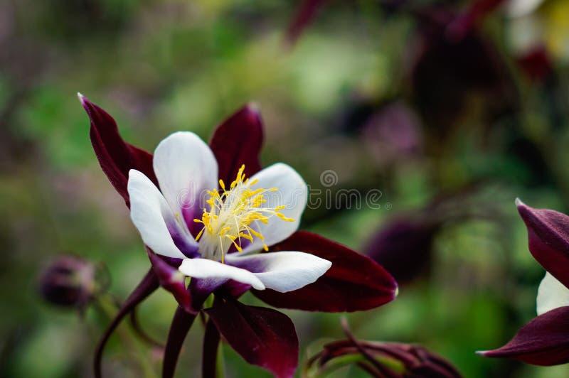 Macro aquilégia selvagem da flor fotos de stock