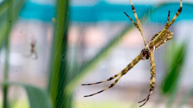 Macro araignée sur le Web photo libre de droits