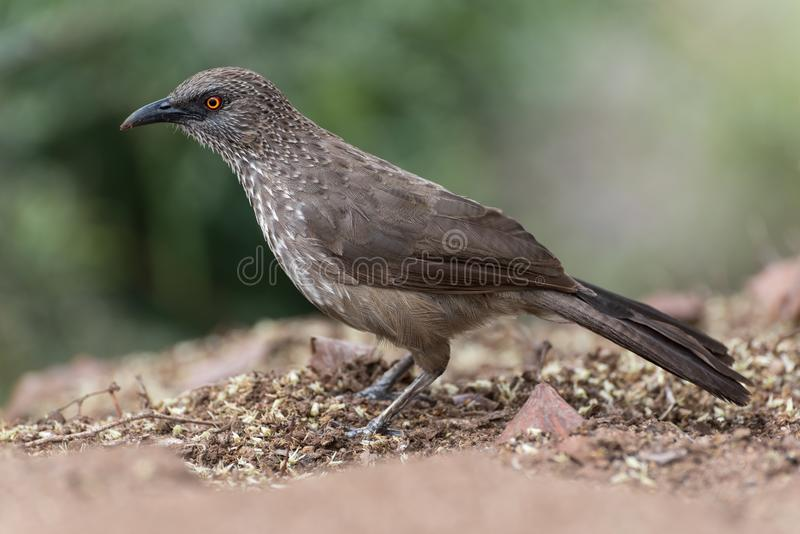 Macro of arrow-marked babbler standing on ground stock photos