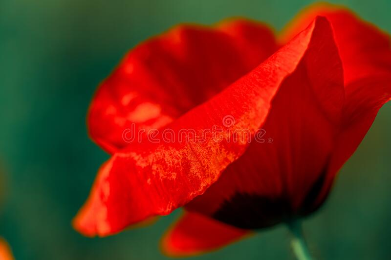 Macro art photography of blooming  poppy. Red poppy with soft focus. Floral poster. Shallow depth of field. Toned image. A poppy. Macro a red poppy with soft stock photos