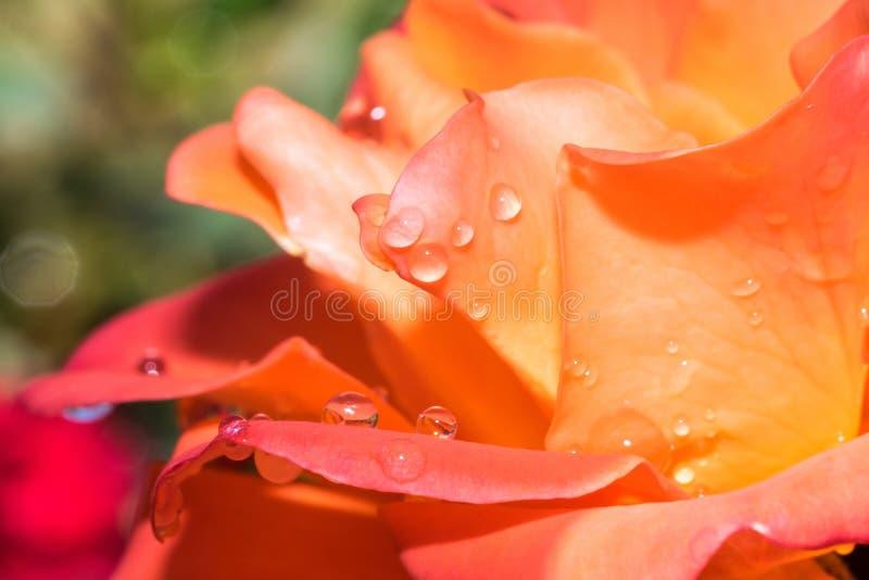 Macro ascendente cercana del extracto de la flor color de rosa de la naranja con el fondo verde silenciado fotos de archivo libres de regalías