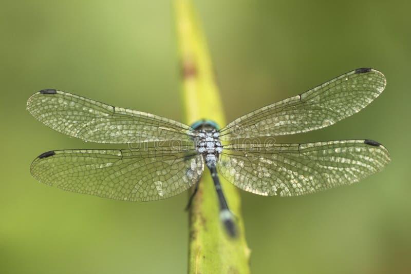 Macro asombrosa del catenata de Micrathyria de la libélula, género de Neotropical de libélulas imagen de archivo libre de regalías