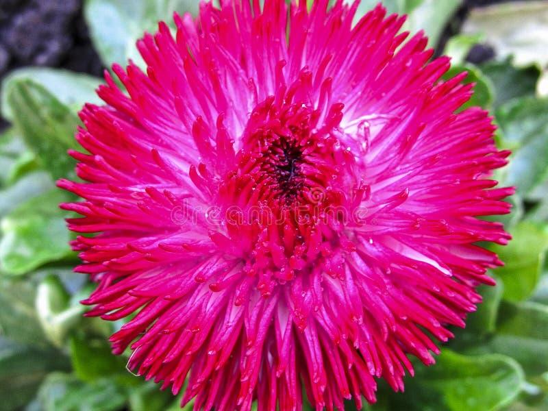 Macro assez rose d'aster de fleur de jardin photographie stock libre de droits