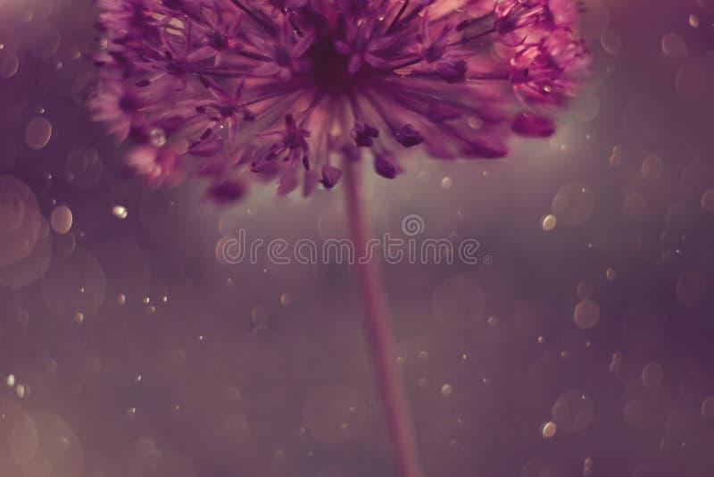 Macro astratta del fiore con le gocce di acqua Fondo artistico per il desktop Insegna floreale magica di arte Carta da parati cre immagini stock libere da diritti