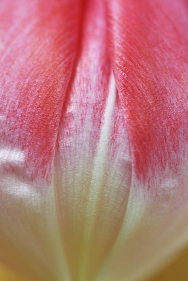 Macro astratta del tulipano fotografie stock