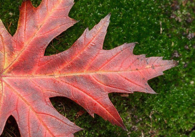 Macro of maple red leaf stock photos