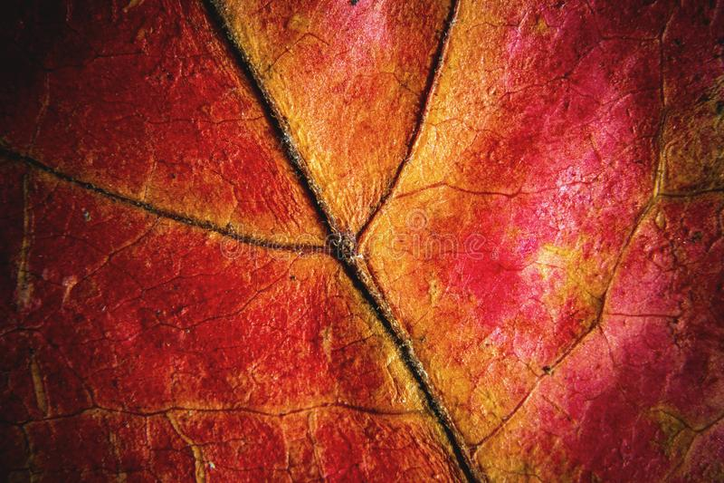 Macro autumn red leaf background royalty free stock photos