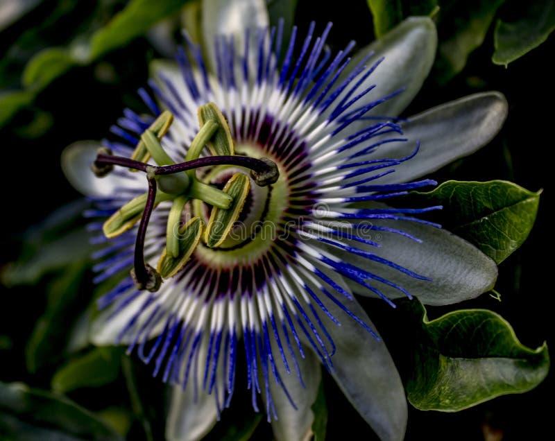 Macro azul da flor da passiflora fotos de stock royalty free