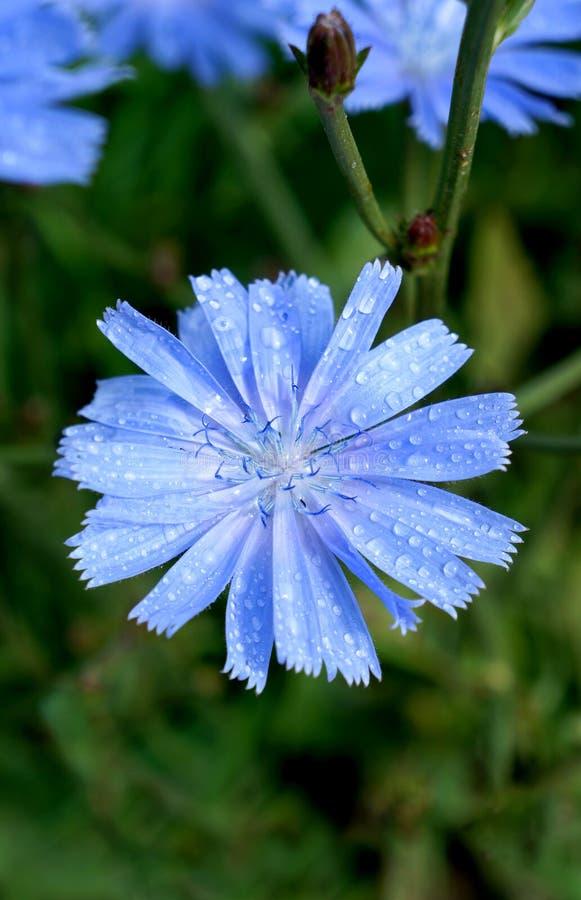 Macro azul de florescência da chicória da flor fotos de stock
