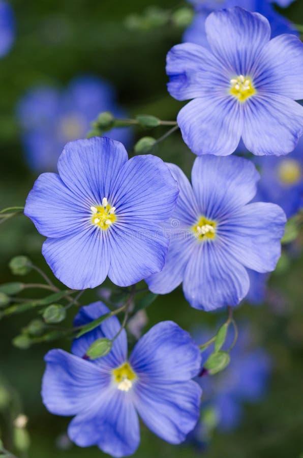 Macro azul de Flox foto de stock royalty free