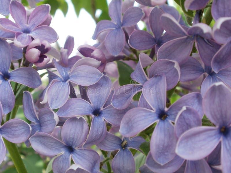 Macro azul de la lila fotografía de archivo libre de regalías