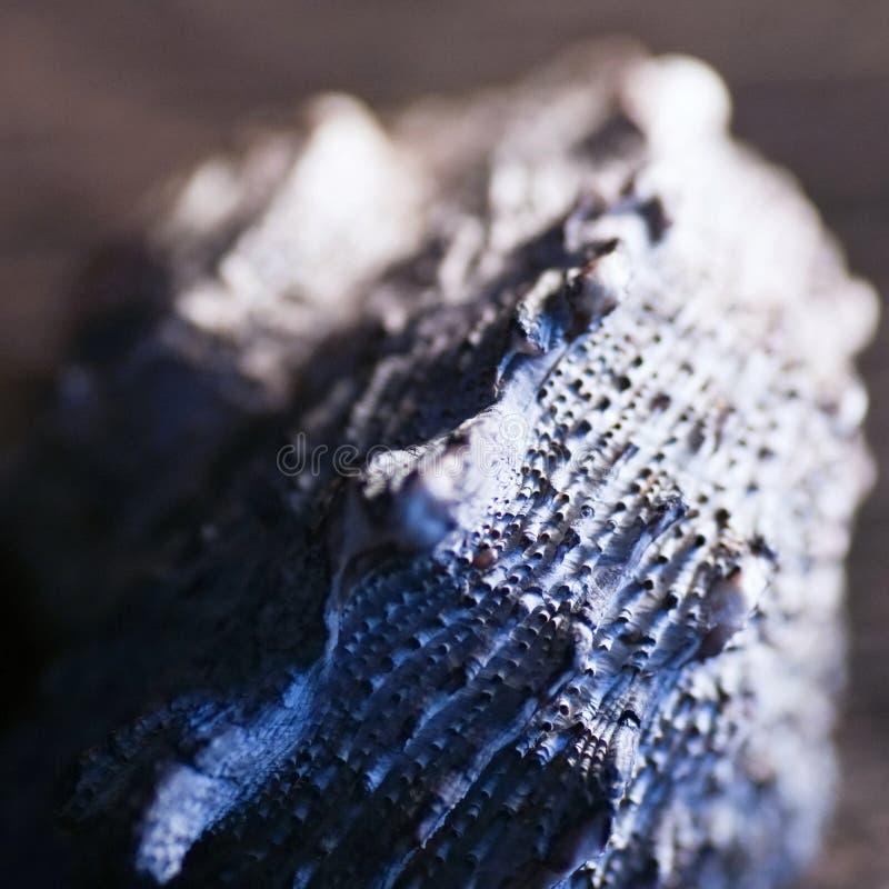 Macro azul do shell imagem de stock royalty free