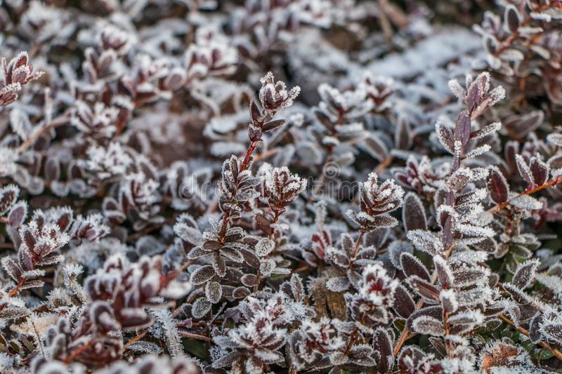 Ice crystals on cranberry leaves stock photography
