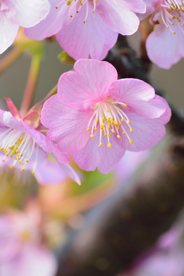 Free Macro Background Japanese Pink Cherry Blossom In Vertical Frame Stock Images - 83466204