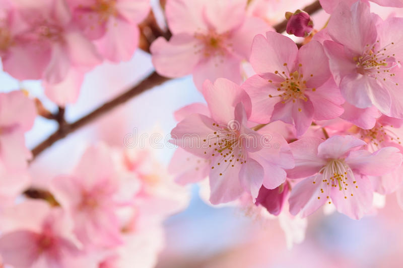 Macro background of Japanese Pink cherry Blossoms in horizontal frame royalty free stock photos