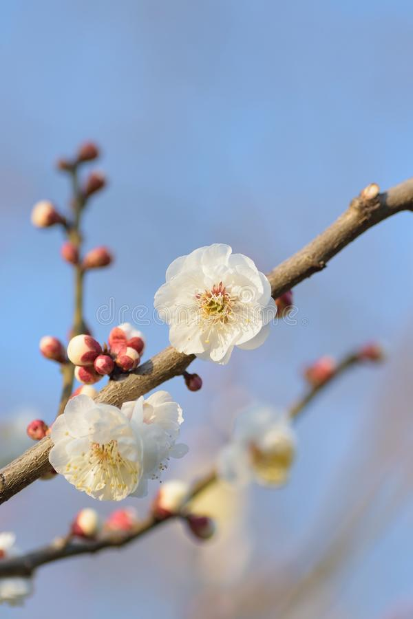 Macro background of Japanese White Plum Blossom branches stock photography