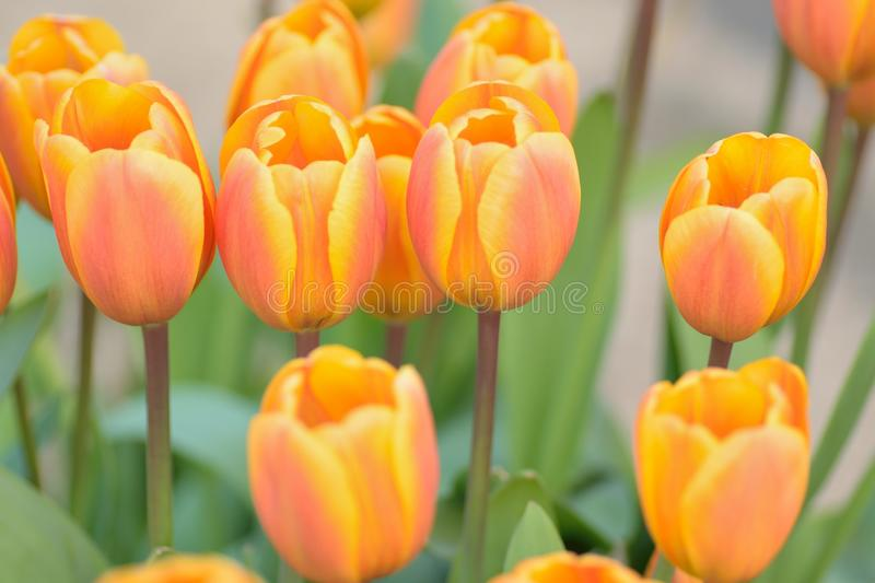 Macro background of orange & yellow colored spring Tulip flowers. In horizontal frame royalty free stock photo