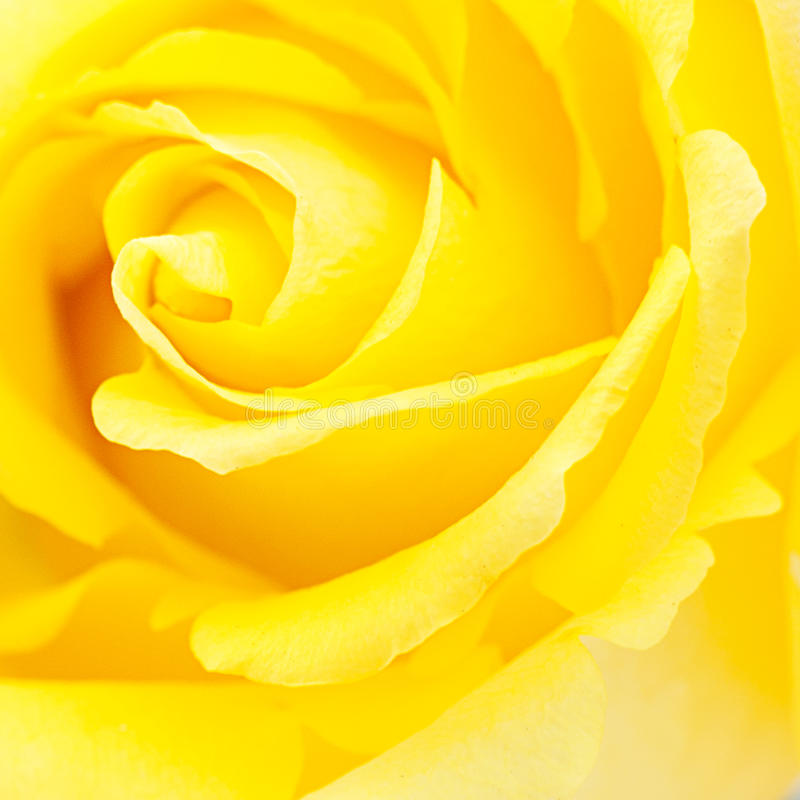 Background of yellow rose stock images