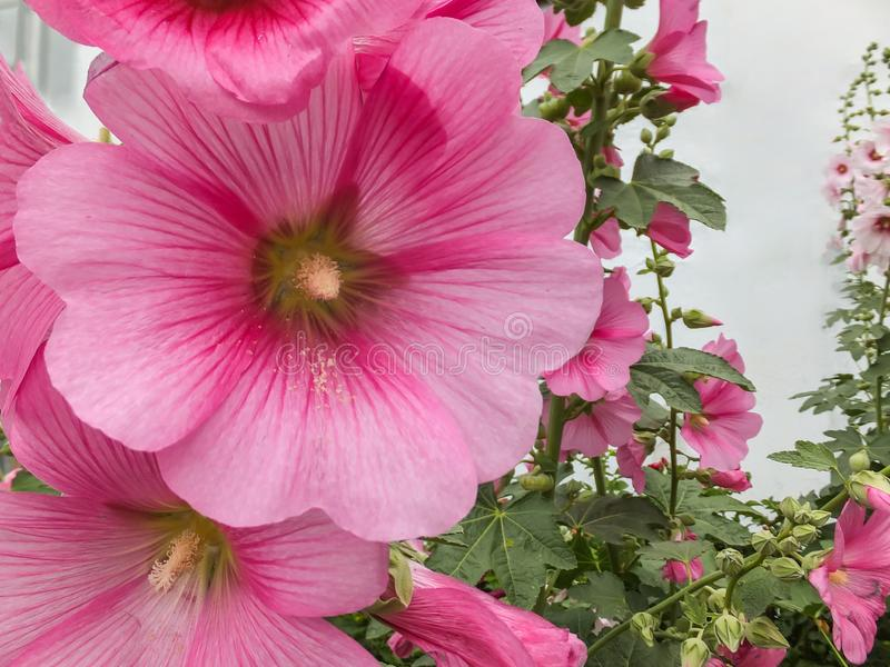 Macro beautiful Alcea rosea, Pink Malva or Hollyhock in the garden. Tall flower Hollyhock with huge flowers stock photo