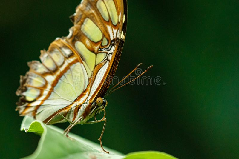 Macro beautiful butterfly Siproeta stelenes stock photography