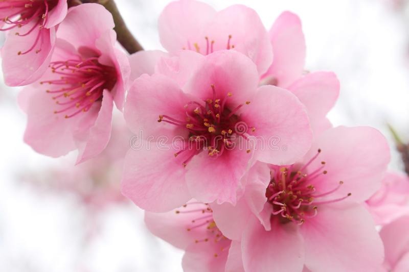 Macro of beautiful cherry blossom pink flowers. Horizontal macro photo of beautiful cherry blossom pink flowers in branch. Shallow depth of field stock photo