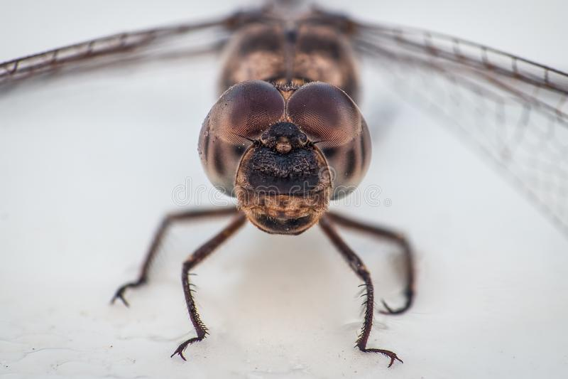 Macro of a beautiful dragonfly, showing of eyes and mouth stock images