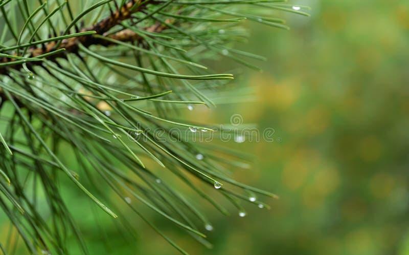 Macro of beautiful long green needles Pinus nigra, Austrian pine or black pine with waterdrops on magic bokeh background stock image