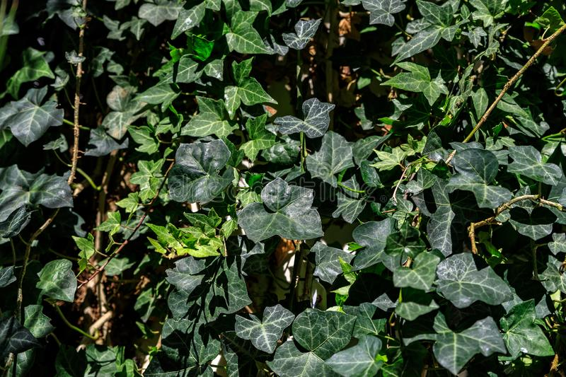 Macro of beautiful, lush green leaves of Common Ivy. Also known as Hedera helix, English ivy or European ivy stock photo