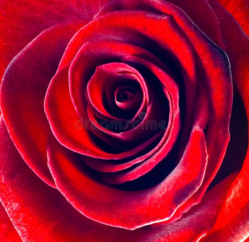 Macro beautiful red rose stock image