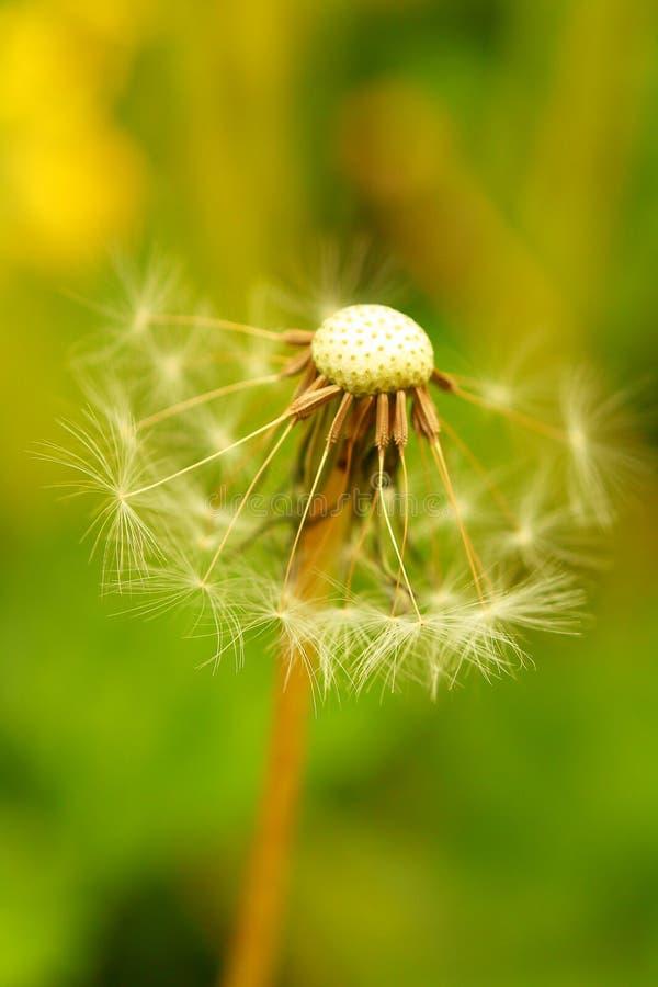 Macro beauty dandelion stock images