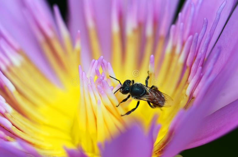 Macro of bee collect yellow pollen from purple lotus royalty free stock photos